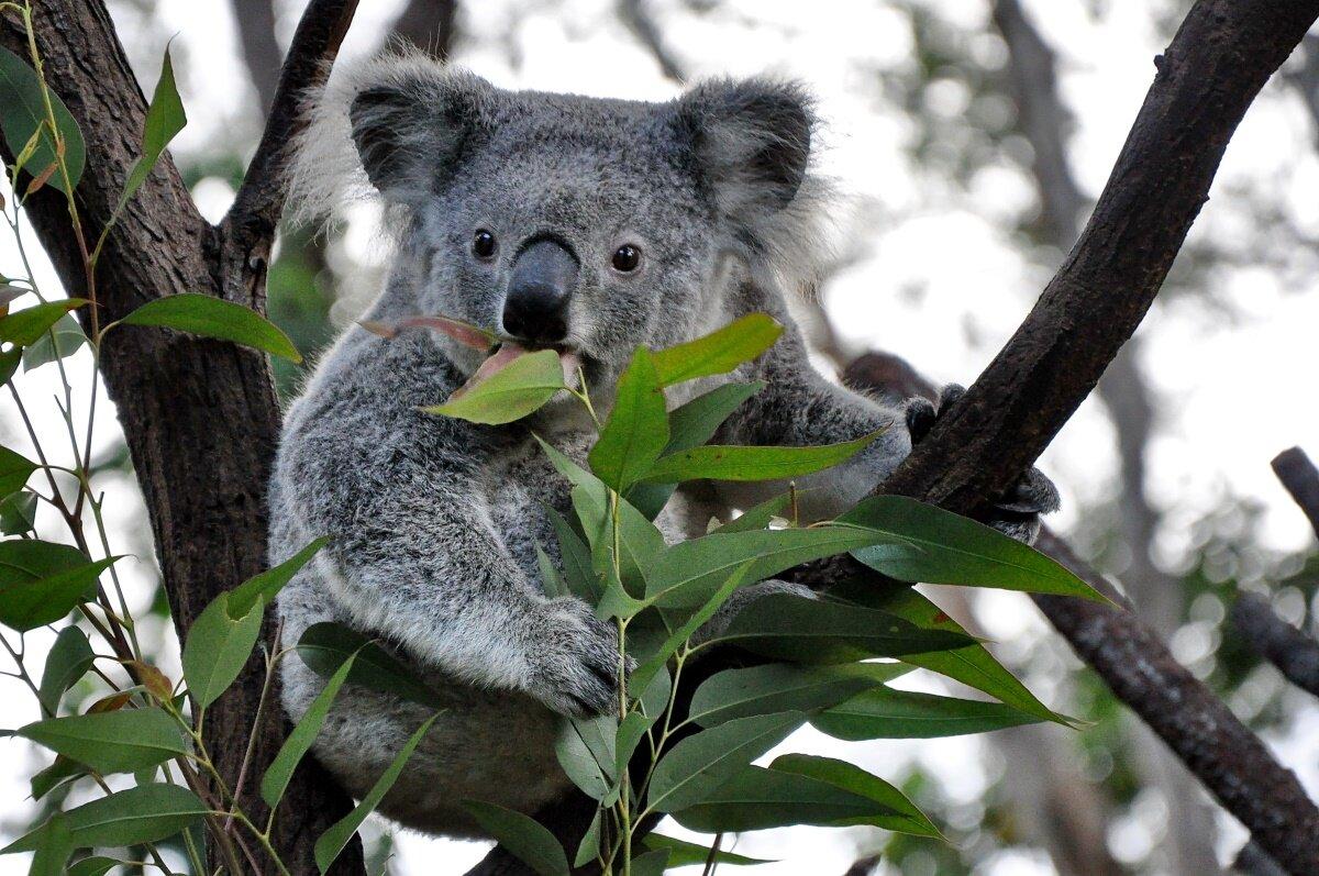 Легенди і міфи землі коал.