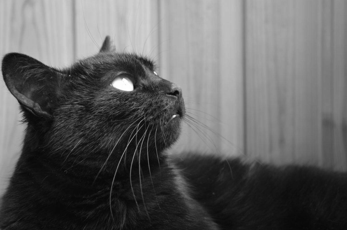 Чорний кіт і його надздібності
