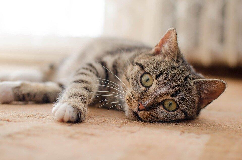 6 причин, які призводять до облисіння кішки