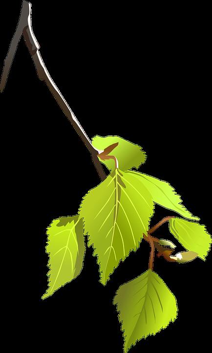 Звичайні березові листя замінять цілу аптеку.