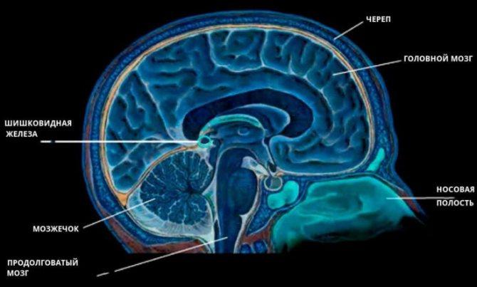 анатомія мозком