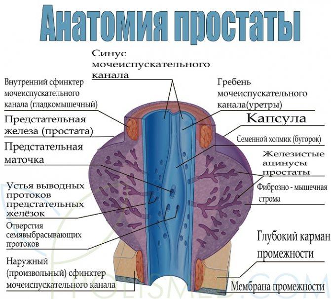 анатомія простати