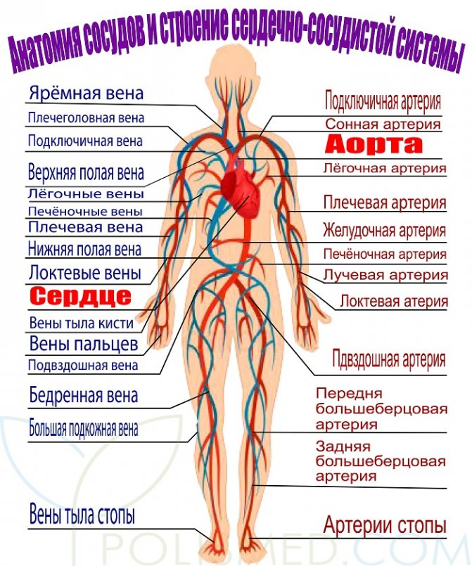 Анатомія серцево-судинної системи