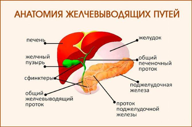 Анатомія жовчовівідніх Шляхів