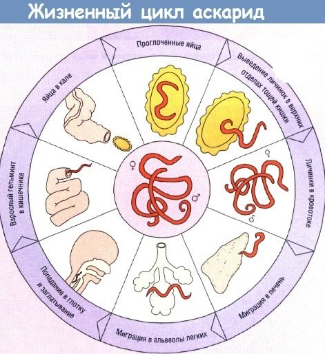 Аскариди у дітей. Симптоми і лікування, народні засоби, препарати, поради лікарів, Комаровського
