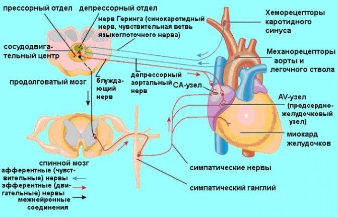 Атеросклероз судин головного мозку. Симптоми і лікування у літніх, молодих