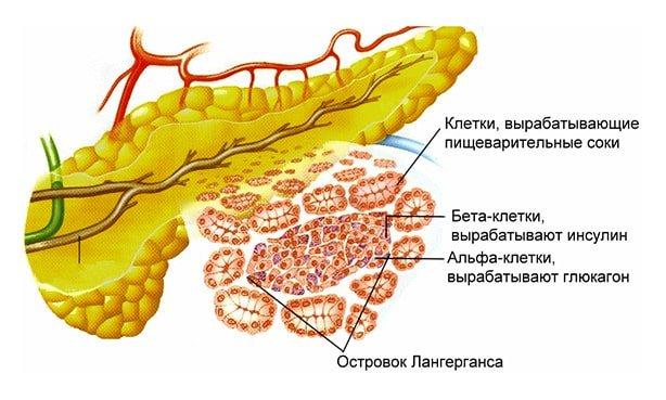 Бета-клітини підшлункової залози