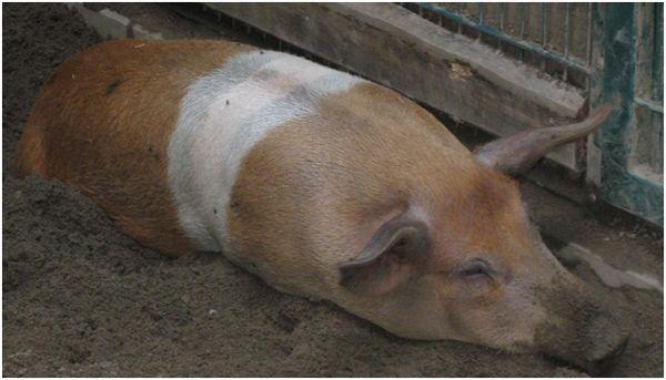 хвора свиня