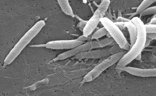 Чорно-білий знімок мікроба