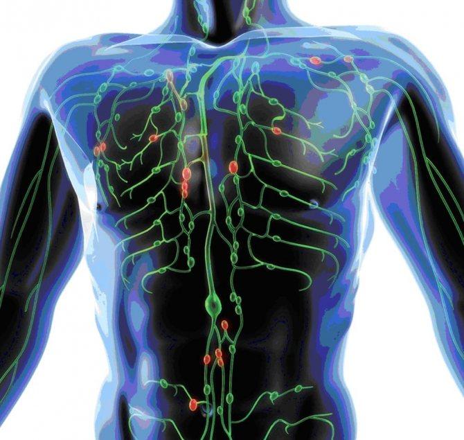 Що таке лімфовузли: розташування, функції, норма і патологія