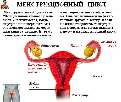 що таке менструального цикл