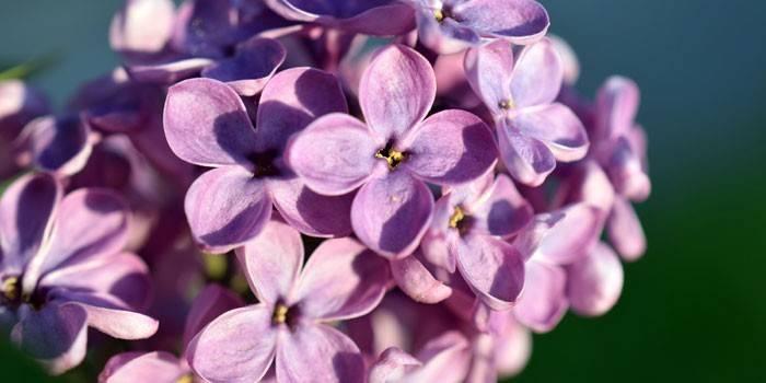 квітки бузку