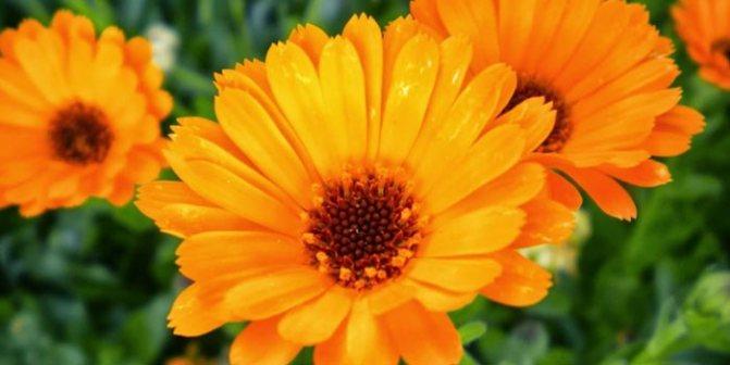 квітка календула