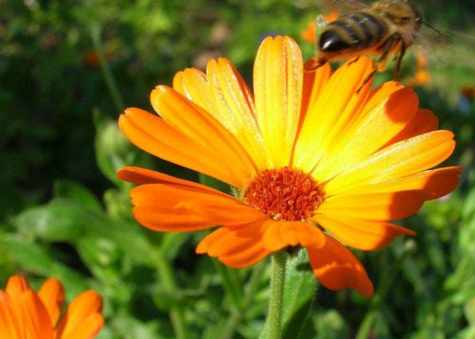 Квітка календули в природі