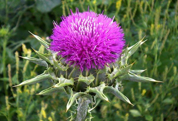 квітка розторопші
