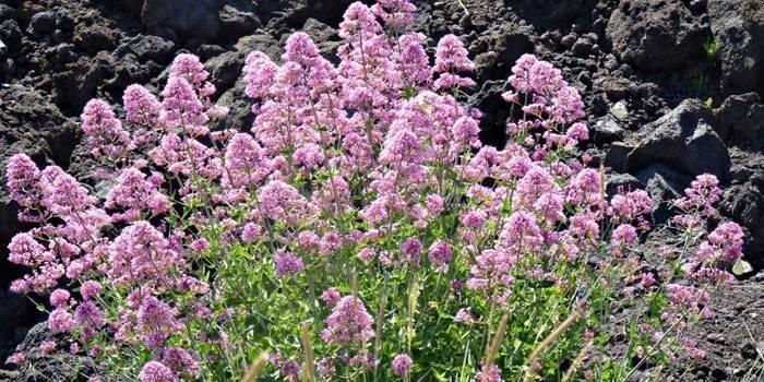 Квітуча трава валеріана