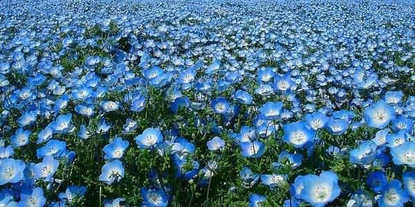 Квітуче поле льону