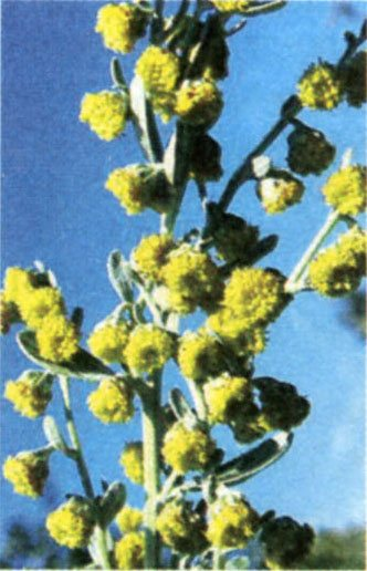 Квіти Artemisia absinthium L.