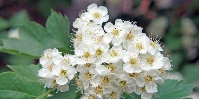 квіти глоду