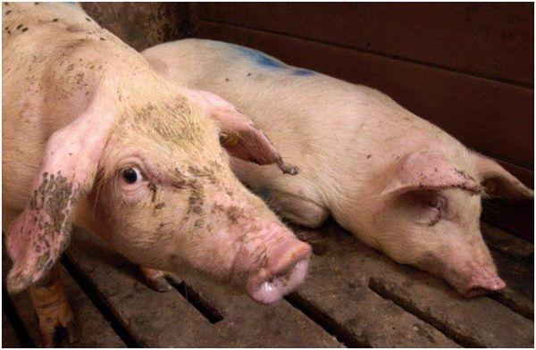 дві свині