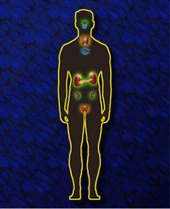 ендокринна система людини