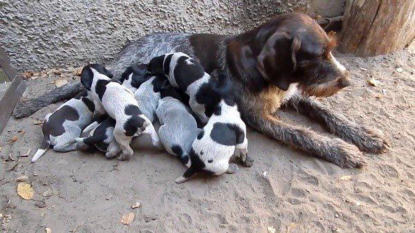 Якщо собака годує цуценят, її молочні залози потрібно перевіряти