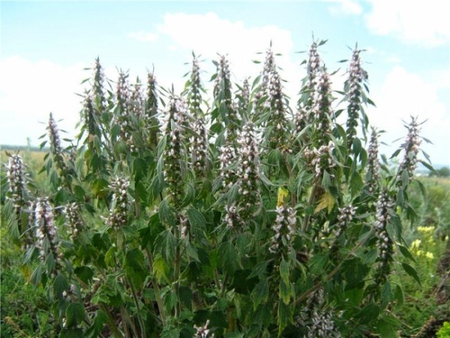 Фото рослини Собача