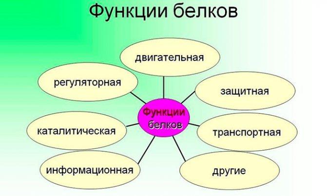 Функції Білка в організмі