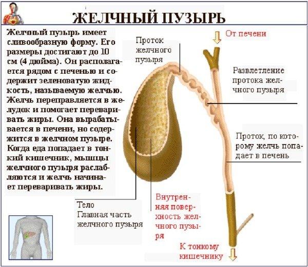 Функції і будова жовчного міхура