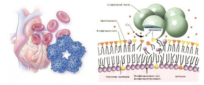 Функції С - реактивного Білка
