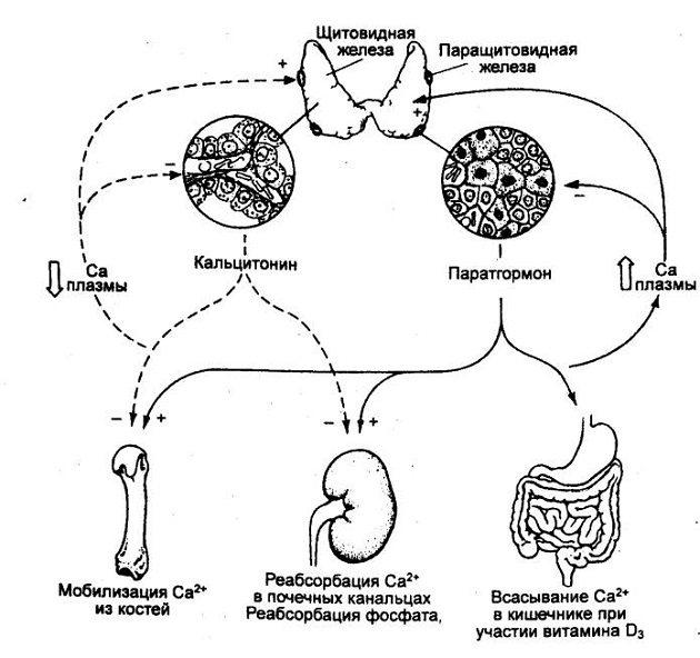 функціональність паратгормона