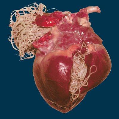 гельмінти в серце