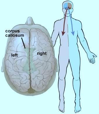 Головний мозок ділиться на дві півкулі.