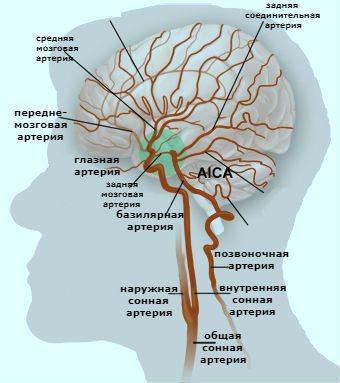 Головний мозок-кровопостачання.