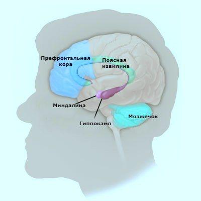 Головний мозок-структура