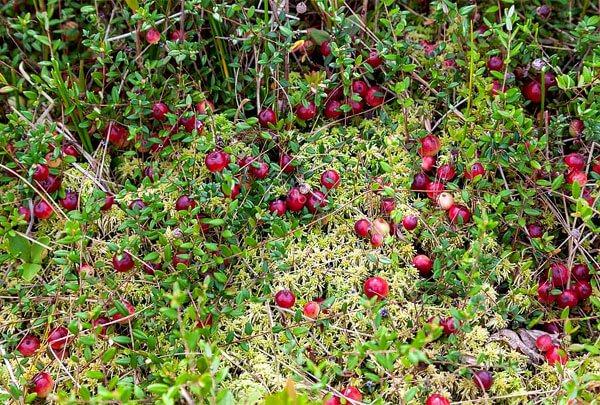 Добре помітна і неоднорідність кольору ягід, і дрібні розміри листя на кущі.
