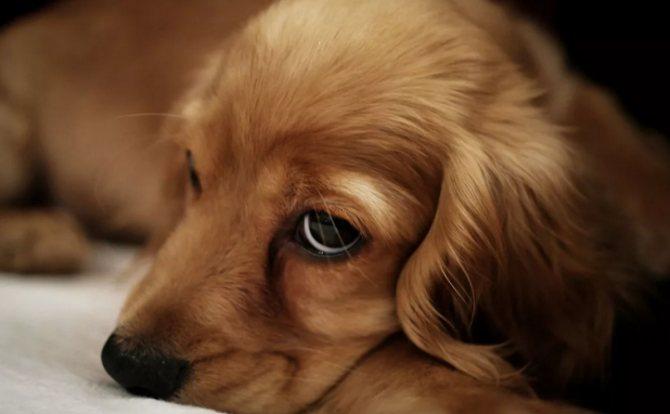 Хронічний ентерит у собаки