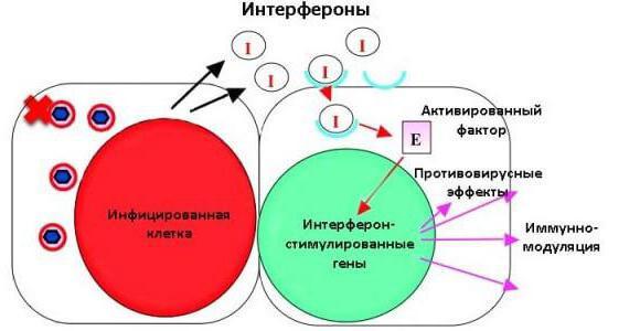 інтерферон людський лейкоцитарний інструкція із застосування