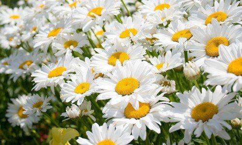 З квіток ромашки роблять сидячі ванночки