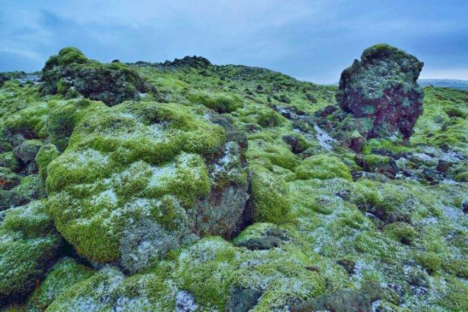 як прійматі ісландській мох
