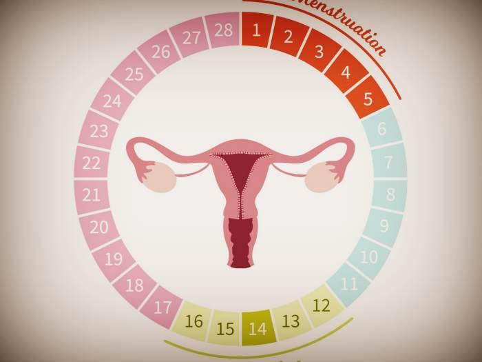 Як впліває естроген на овуляцію