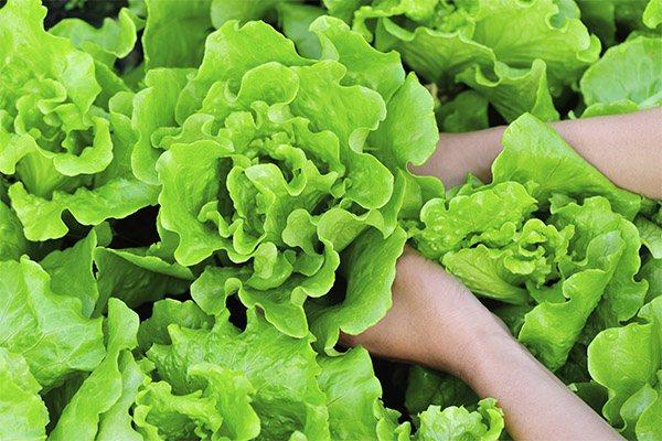 Як вибрати і зберігати листовий салат