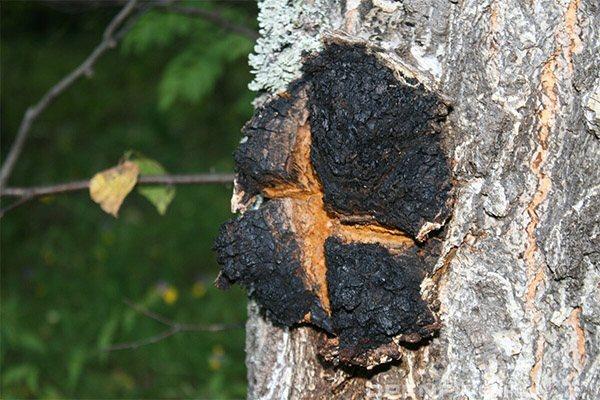 Як виглядає і де росте гриб чага