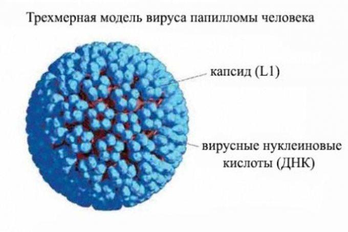 Як виглядає вірус папіломи