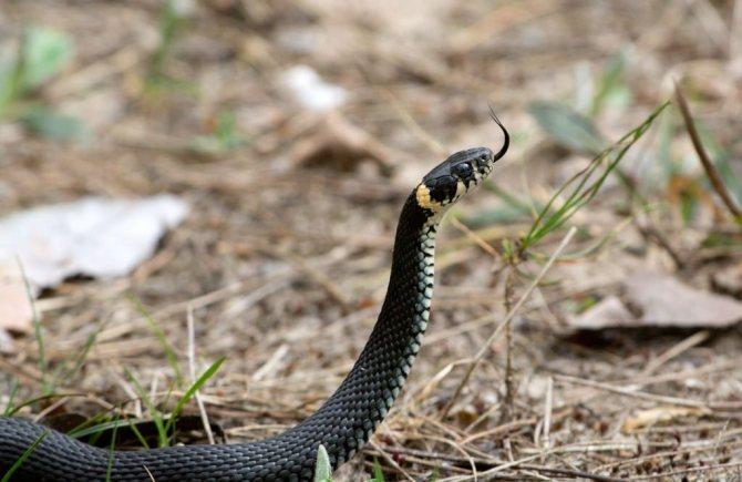 Яка перша медична допомога при укусі отруйної змії допоможе