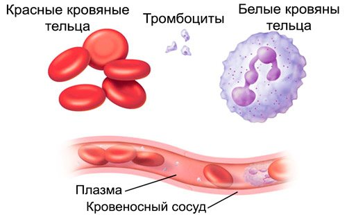 Клітини крови: еритроцити, лейкоцити, тромбоцити