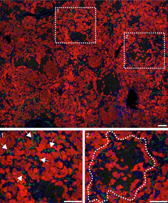 Клітини печінки миші з блокованим геном ITGB1