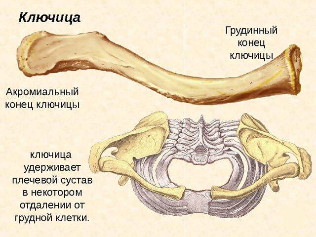 ключиця