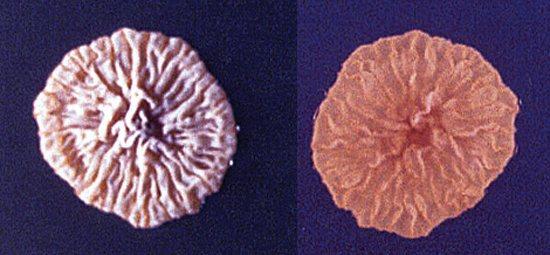 колонії грибка мікроспорум