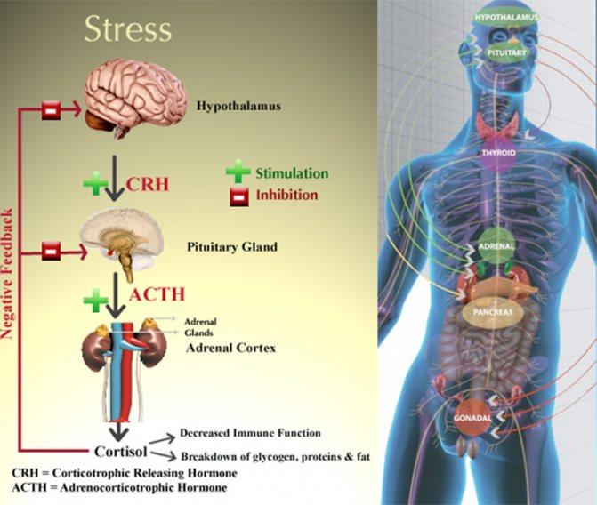 Кортизол: Що робити, якщо гормон стресу підвищений